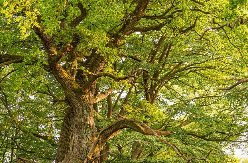 Unsere Bäume – Die Eiche