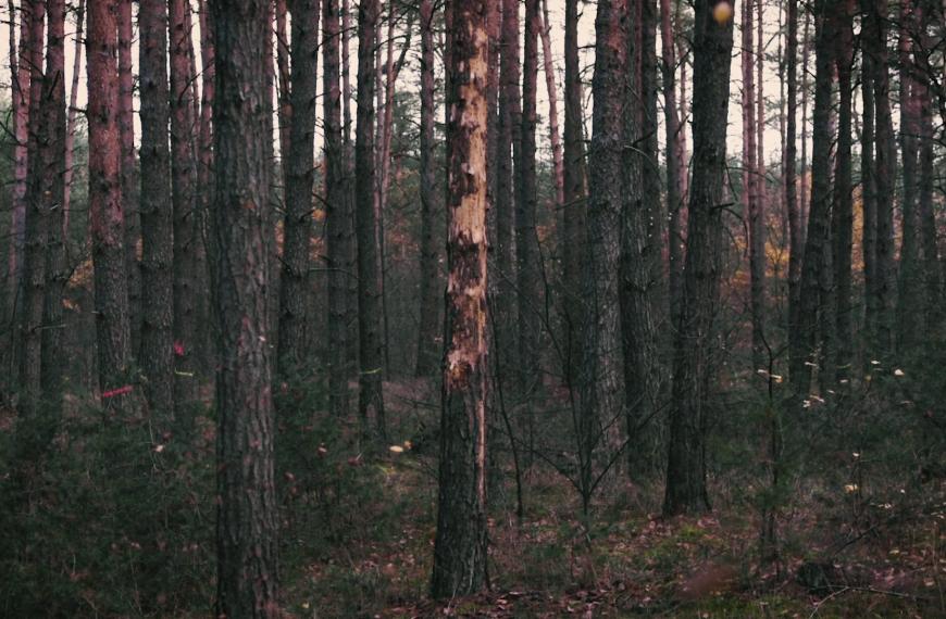 Waldsterben durch Klimawandel? Wie die Diplodia-Krankheit ganze Wälder vernichtet