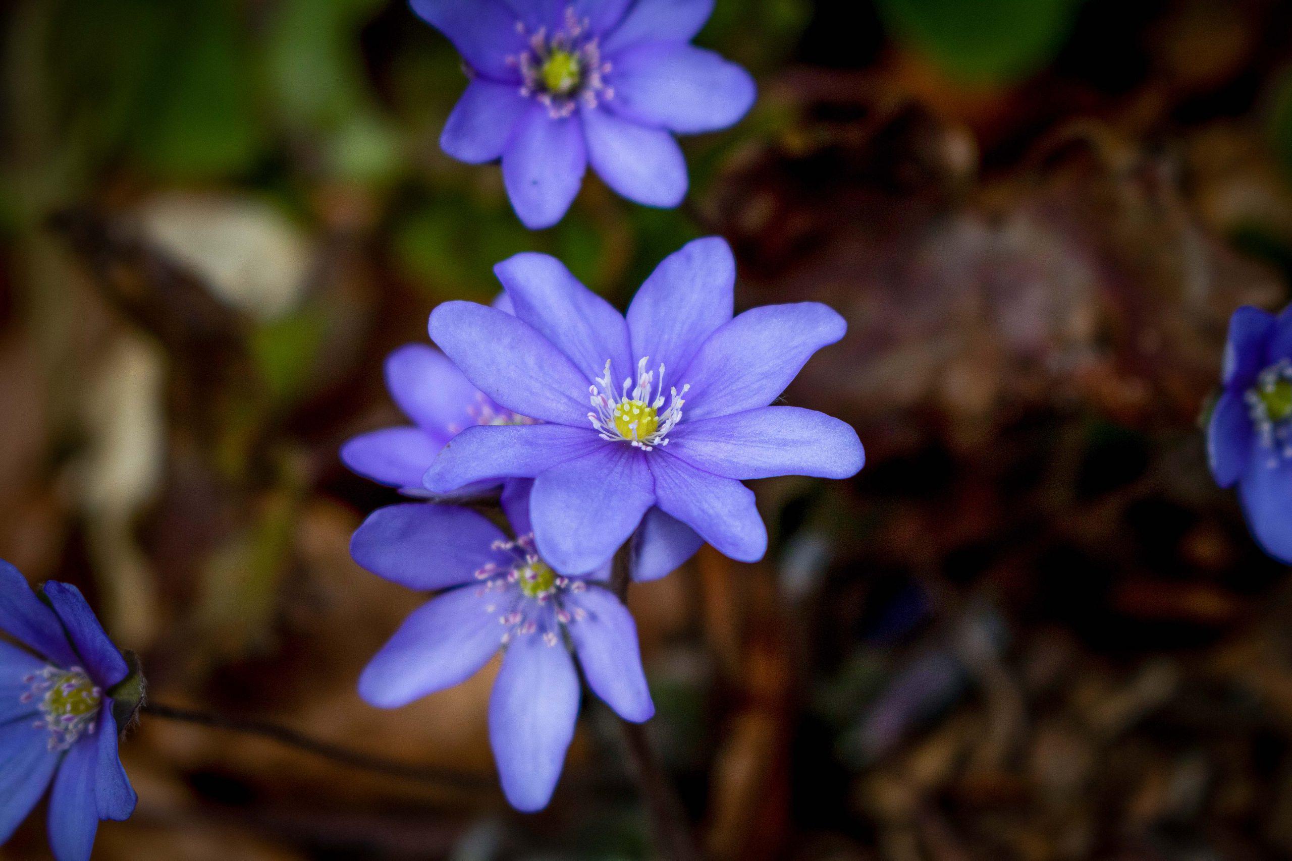 Bunte Vielfalt auf den Waldböden – Die Zeit der Frühblüher ist gekommen!