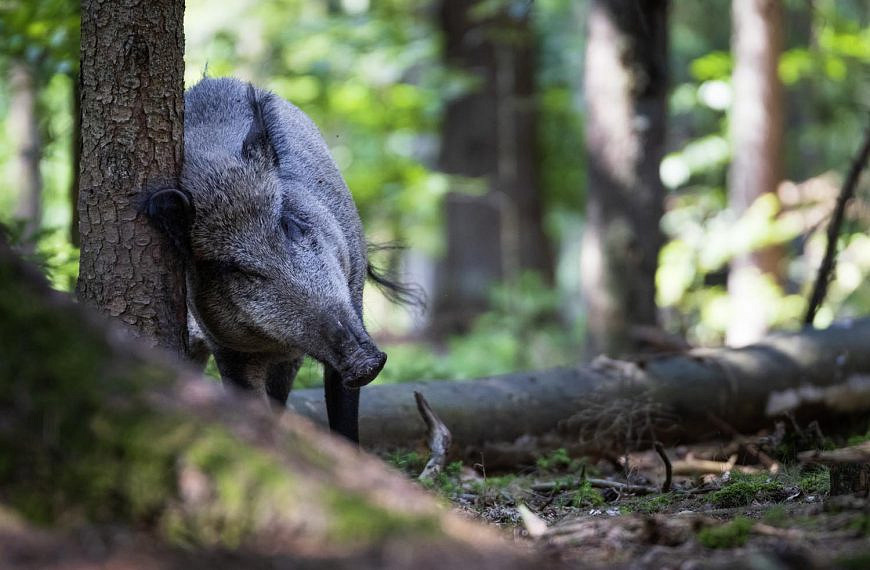 Unser Wild: Das Wildschwein