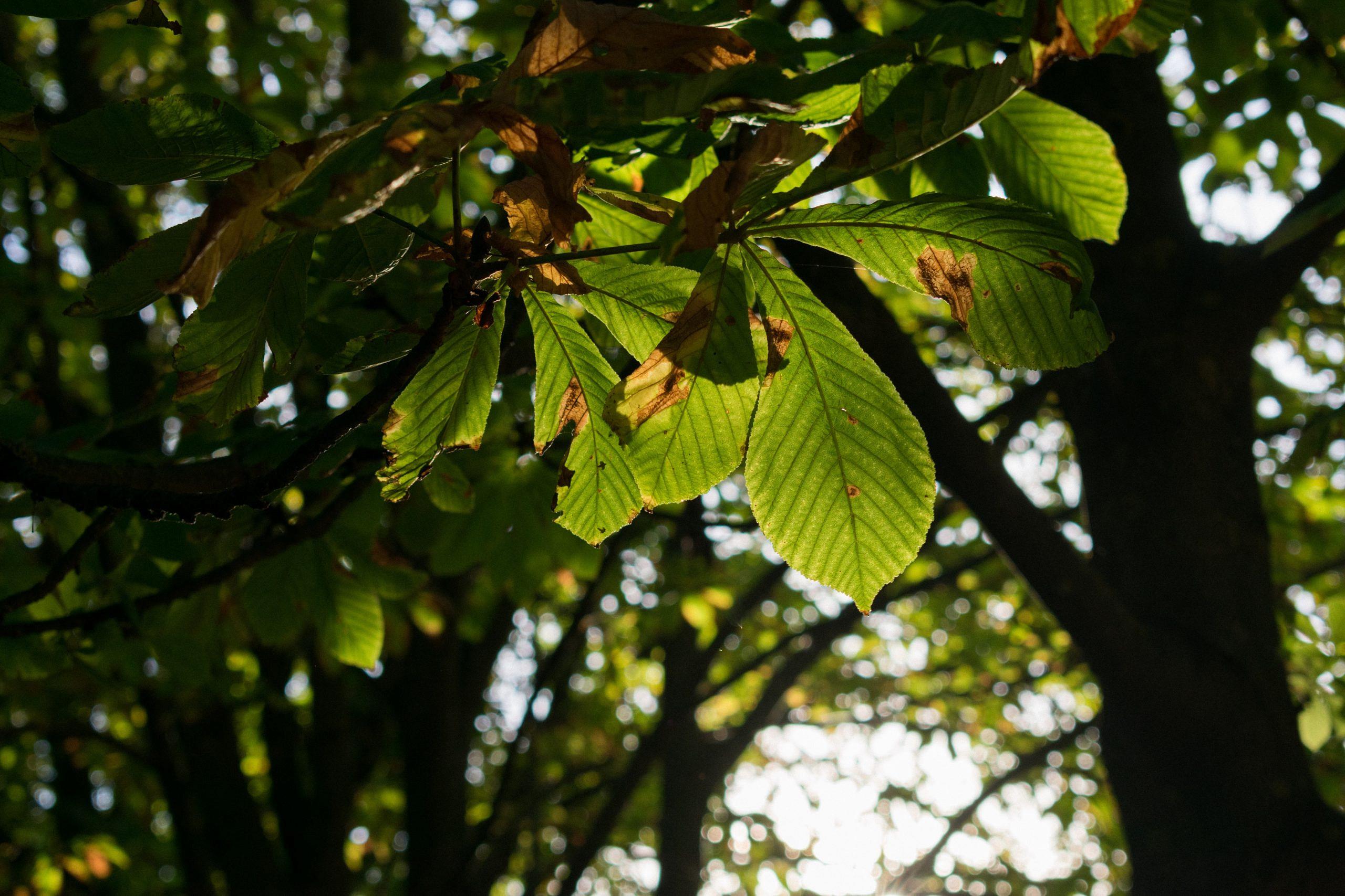Unsere Bäume – Die Rosskastanie (Aesculus hippocastanum)