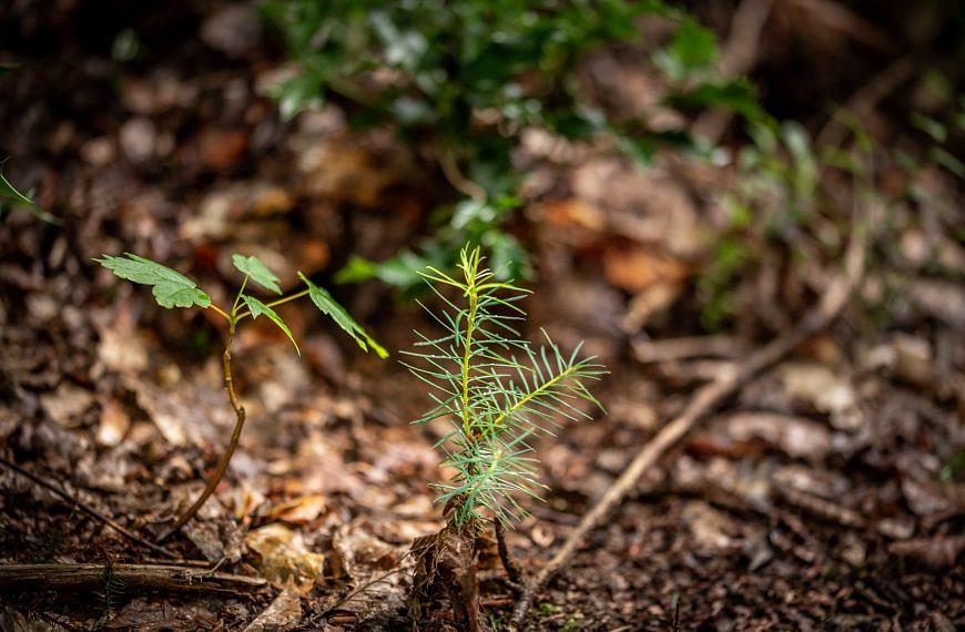 Naturverjüngung – Die Kinder des Waldes
