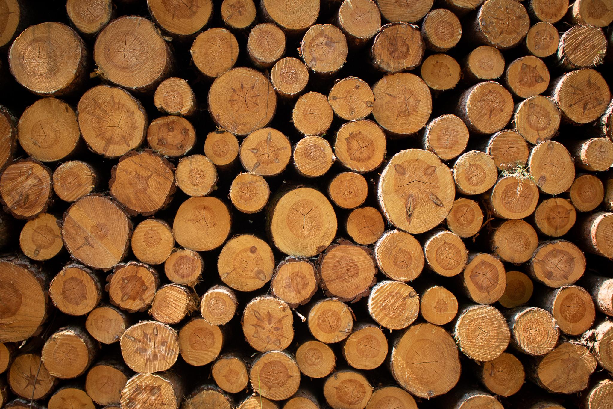 Unsere Bäume – Die Wald-Kiefer (Pinus sylvestris)