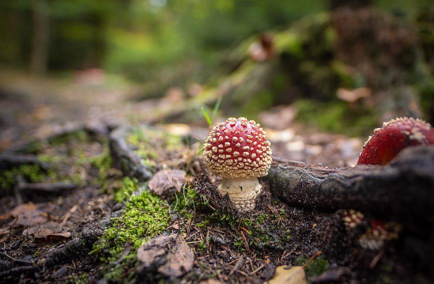 Pilze und Mykorrhiza – ein Leben mit Bäumen